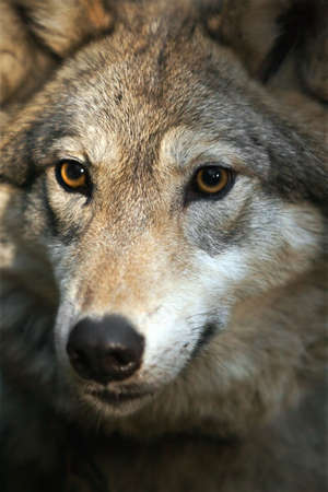 lupus: Grey wolf (canis lupus) portrait Stock Photo