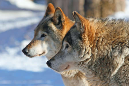 Profile portrait of Grey wolves (canis lupus)  Stock Photo