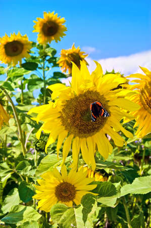 A field of sunflowers. Focus on the flower to the right, with a  butterfly Small Tortoiseshell (Aglais urticae) photo