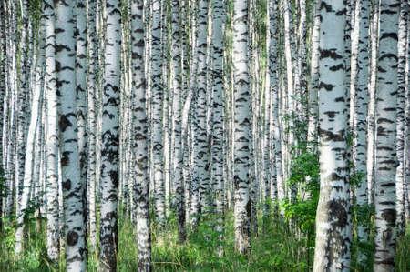 bosquet: D�a de verano soleado en una madera Foto de archivo