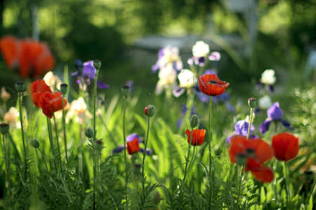 Beautiful meadow with red poppies,  irises and other flowers photo