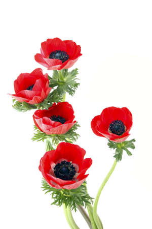 Red flowers of anemone on a white background Stock Photo