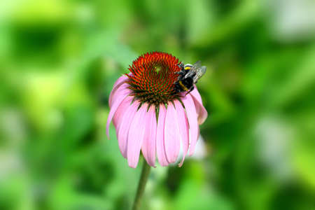 Echinacea purpurea flower (also known as purple cone flower) with bumblebee collecting nectar.