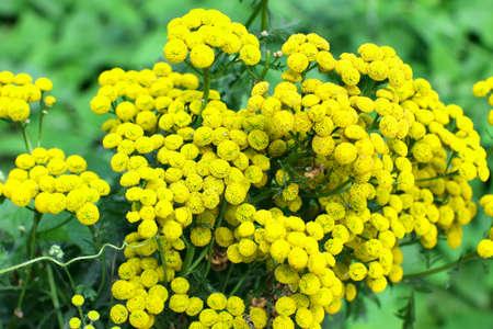 vulgare: Tansy (Tanacetm vulgare) flower