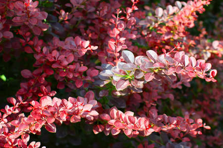A branchs of European barberry (Berberis vulgaris var. atro-purpurea)