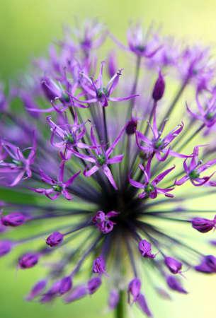 Macro of an Allium Flower in Bloom