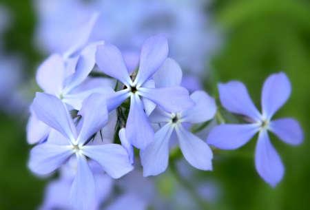 Blauw Phlox bloemen in de tuin