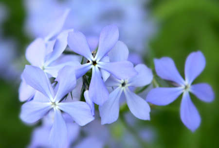 Blue phlox flowers in the garden