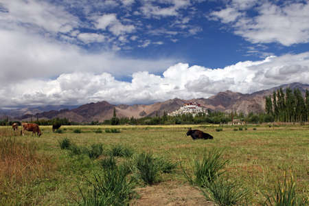 are grazed: Landscape with domestic cattle grazing on an meadow and monastery on  mountains.Himalayas. Ladakh.India.