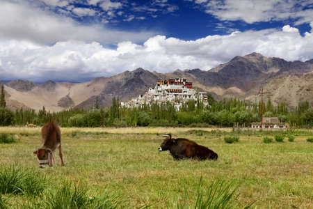gelugpa: Landscape with domestic cattle grazing on an meadow and monastery on  mountains.Himalayas. Ladakh.India.