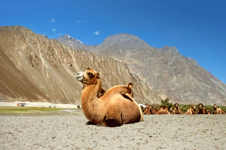 ladakh: Camels are relaxing in the sand.  Nubra Valley. Ladakh. India Stock Photo