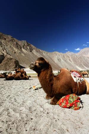 ladakh: Camels on the Nubra Valley. Ladakh. India Stock Photo