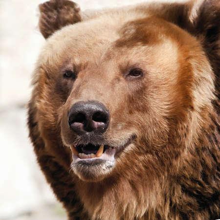 grizzly: L'ours brun. Ursus arctos. Portrait. Gros plan