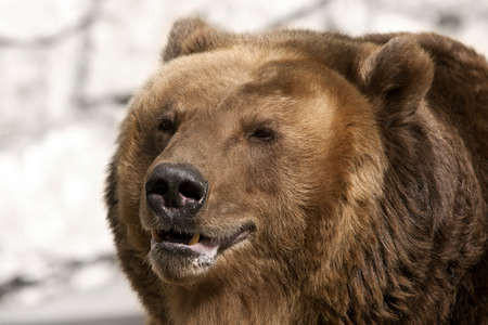 grizzly: Brown bear.  Ursus arctos. Portrait. Close up