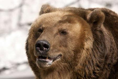 grizzly: Niedźwiedź brunatny. Arctos Ursus. Portret. Ścieśniać