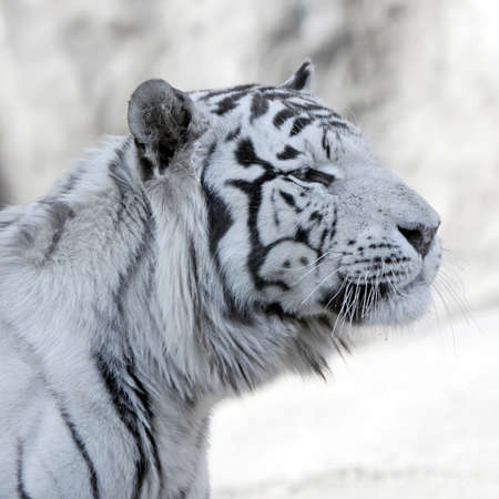 tiger white: White Tiger on grey background. Close up. Profile
