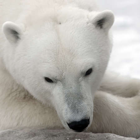 Polar Bear Portrait close up.  Stock Photo - 12414170