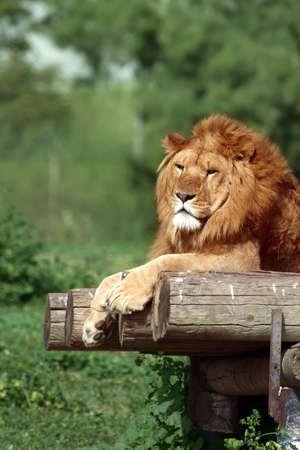 big head: Lion resting  in a zoo. Israel.