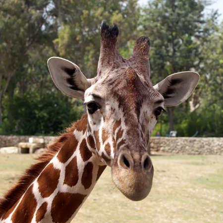 Close up portrait of a giraffe photo