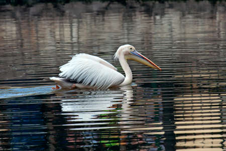 Great white pelican  Pelecanus onocrotalus  floating on water Stock Photo - 13584744