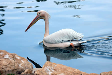 Great white pelican  Pelecanus onocrotalus  floating on blue water Stock Photo - 13584745