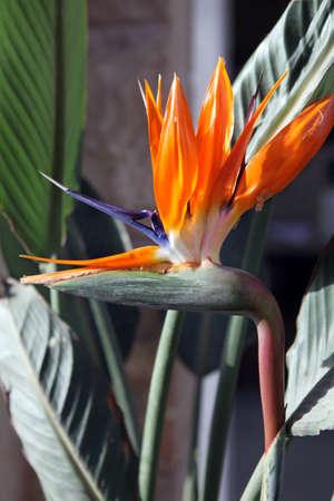 bird of paradise  flower: Beautiful Bird of Paradise flower, known as Strelitzia   Stock Photo