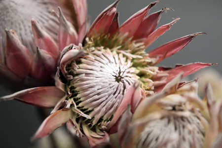 south african: A king protea flowers - Cynaroides