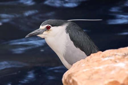 Black-crowned Night Heron  Nycticorax nycticorax   photo