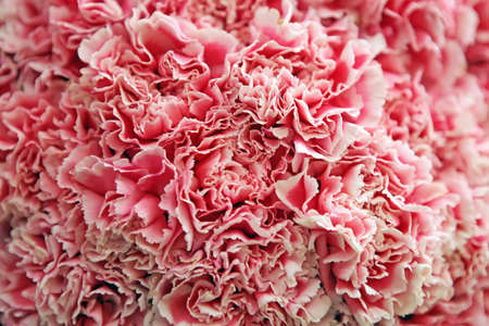 carnations: White-pink  carnations background