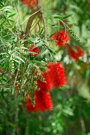 callistemon citrinus: Red bottlebrush flowers in bloom