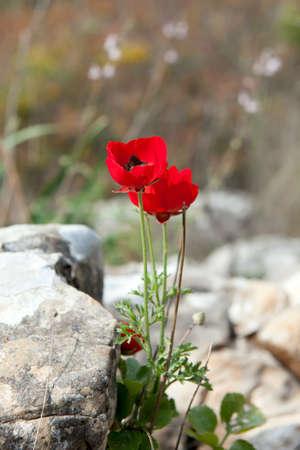 anemone flower: Selvaggio Anemone fiore che sboccia tra le pietre Archivio Fotografico