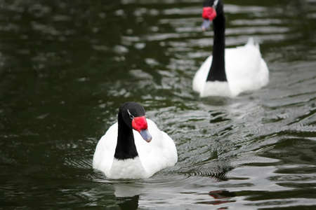 Swans  (Cygnus melancoryphus) on the lake with black water background photo