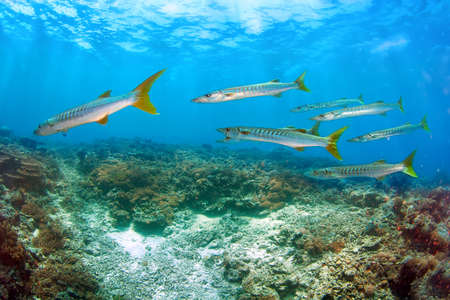 School of Barracuda fish gather during breeding season photo