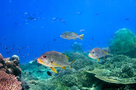 blackspotted: Coral reef and blackspotted sweetlips in the ocean