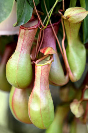 Nepenthes ,eat insect flower Stock Photo - 17084367