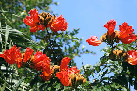 nandi: Spathodea flowers, leaves and buds. African Tulip Tree Stock Photo