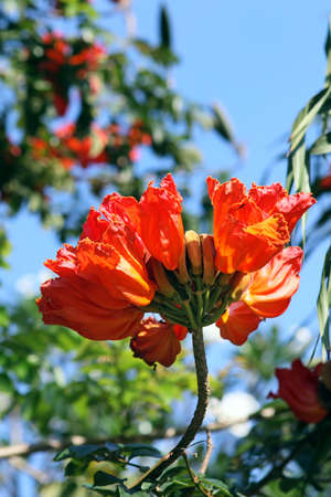 Spathodea flowers and buds. African Tulip Tree photo