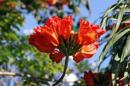 nandi: Spathodea flowers and buds. African Tulip Tree