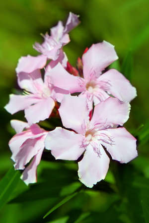 Nerium oleander flowers in a garden photo