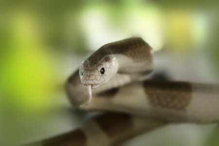 flicking: Cobra snake  Elapidae   flicking tongue