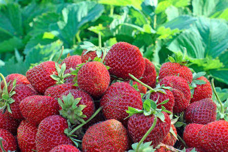 seed bed: Fresh ripe garden strawberries, a macro shot