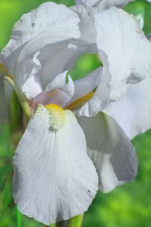 Flower of bearded iris closeup Stock Photo