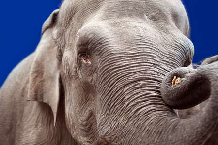 wrinkled brow: Elephant head, trunk and skin close up Stock Photo