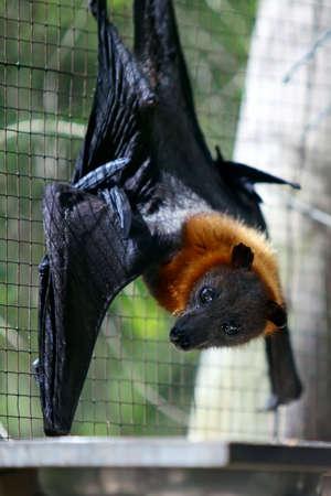 pteropus: Il pipistrello - nero flying-fox (Pteropus Aletto) appeso sul reticolo. Zoo