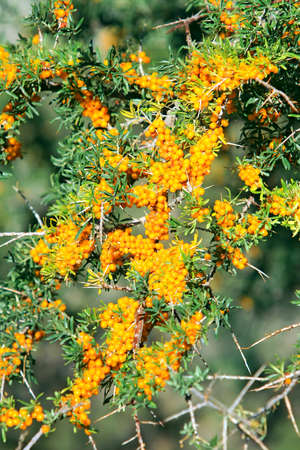 sallow: Branches of sea buckthorn with juicy berries (also known as Hippophae rhamnoides or Sallow Thorn)