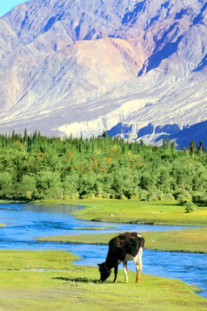 are grazed: Cow is grazed on a green lawn near the river in the Himalayas. Nubra valley. India Stock Photo