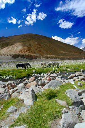 are grazed: Horses in Indian Himalaya. Scenic mountain landscape