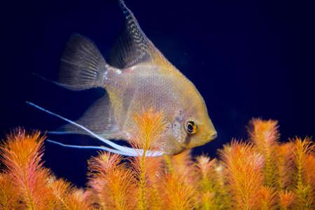 aquarian fish: aquarian small fish of Pterophyllum scalare in an aquarium interior Stock Photo