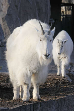 nanny goat: Mountain goat (oreamnos americanus) with cute baby goat cub