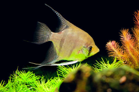 pterophyllum: aquarian small fish of Pterophyllum scalare in an aquarium interior Stock Photo